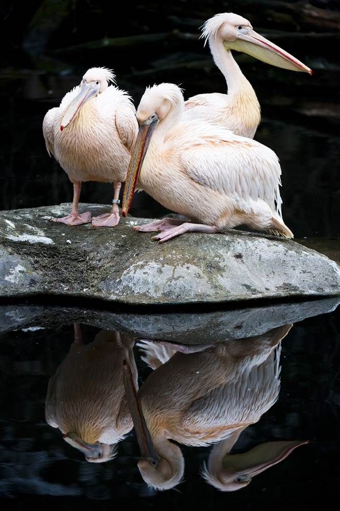 Mirror, mirror Three pelicans are reflected in a pond at the zoo in Frankfurt, Germany, on Jan. 28.