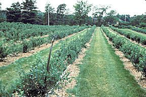 high bush blueberry growing info - specifically dealing with Witches Broom & Birds from Maine Organic Farmers & Gardeners Association