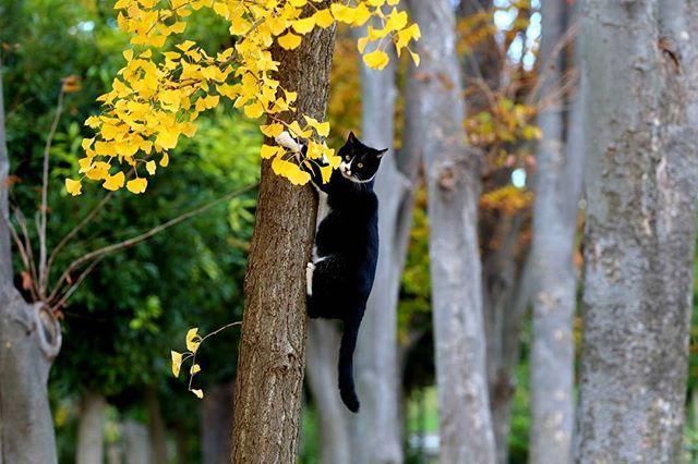 『オペラは木登りが得意』 : この得意顔ポーズで撮られるのを待っていた。 : #僕らの居場所は言わにゃいで #野良猫 #野良ねこ #野良ネコ #のら猫 #のらねこ #ノラネコ #ノラ猫 #外猫 #地域猫 #猫 #ねこ #ねご #ネコ #neko #猫玉国