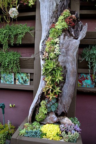 Succulent in hollow log. Vertical planting. At Succulent Cafe in Oceanside, CA