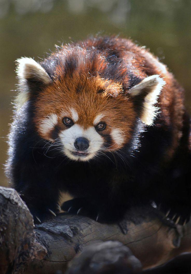 best 941 pandas bears ideas on pinterest panda bears giant pandas and panda panda. Black Bedroom Furniture Sets. Home Design Ideas