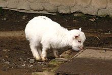 Pygmy goat - Wikipedia, the free encyclopedia I WANT