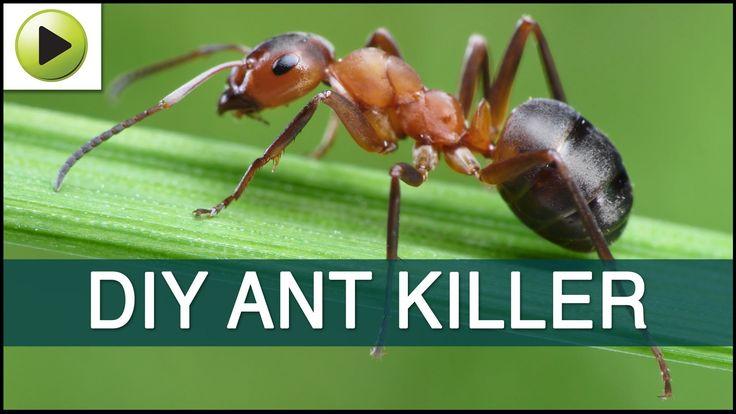 Homemade ant killer homemade ant killer ant killer