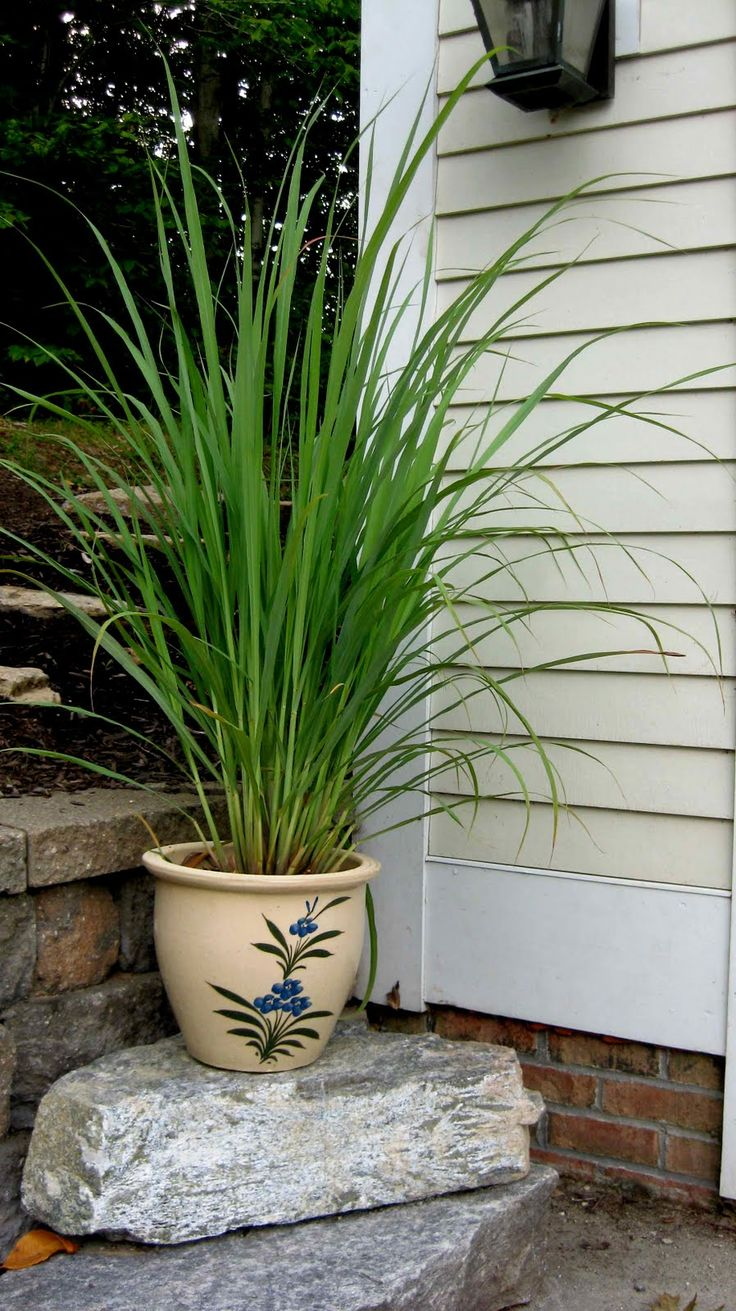 How to grow lemon grass - Lemongrass Has Ornamental Appeal And Is Easily Grown From A Fresh Stalk From A Grocery Store