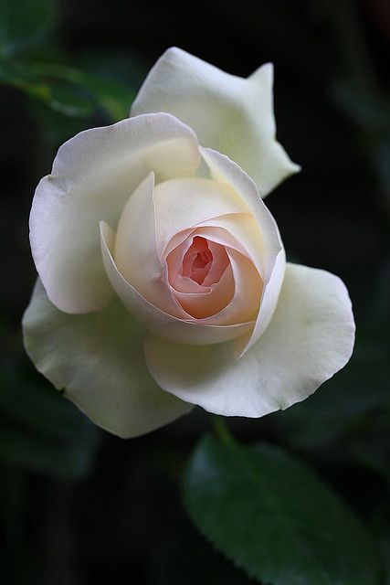 A white rose for remembrance...