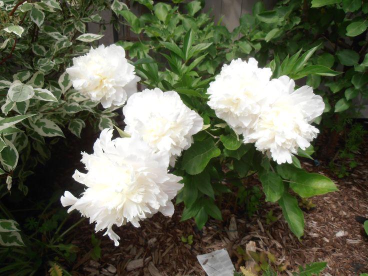 Peony - white full flowers
