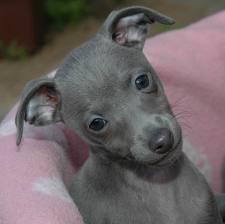 Miniature Italian Greyhound puppy. I want it so bad!!!
