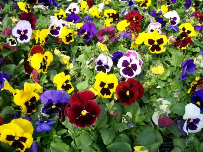 Top 10 Flowers That Bloom In Winter Pouted Com Pansies Flowers Pansies Winter Flowers