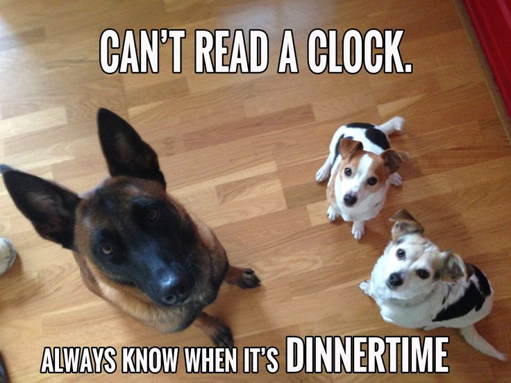 Can T Read Clock Always Know When It S Dinnertime Belgian Malinois Dog Belgium Malinois Malinois