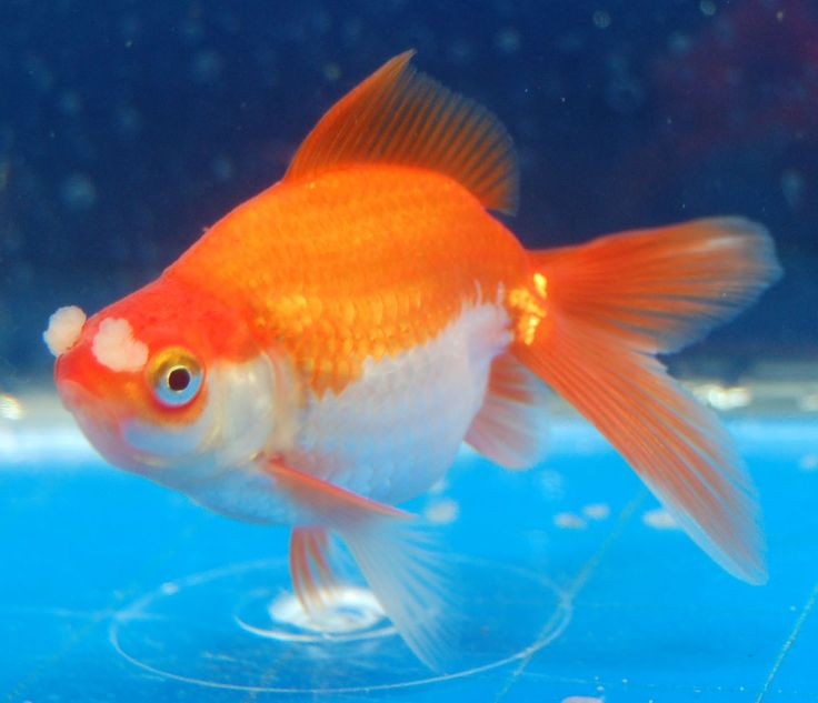 120 best images about goldfish for Can tropical fish live with goldfish