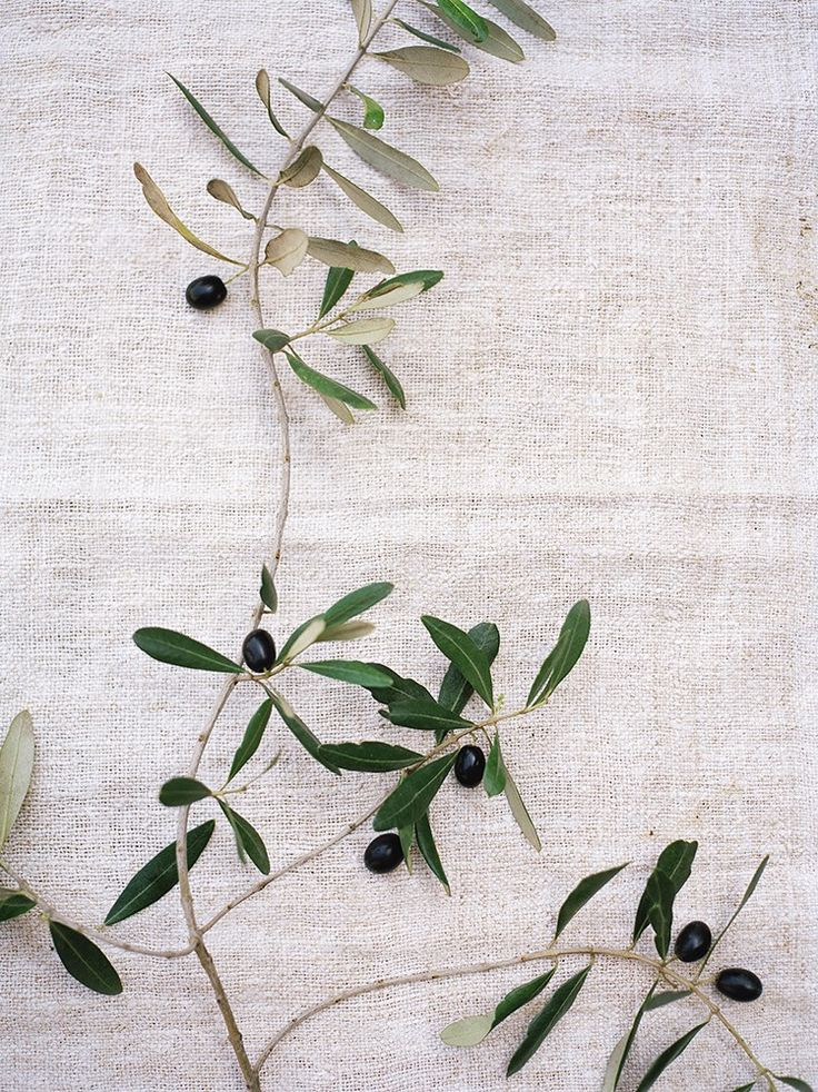 """The Jewish sages teach that the olive branch has a meaning of its own. It…"