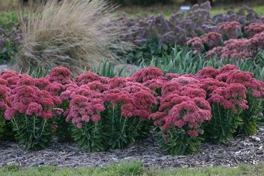 California Native Plants Drought Tolerant Bareroot Roses