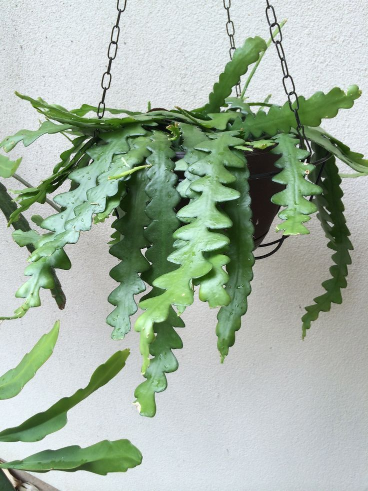 How to grow a Zig Zag Cactus (Ric Rac cactus) https://www.houseplant411.com/askjudy/how-to-grow-care-for-fishbone-cactus-zig-zag-cactus