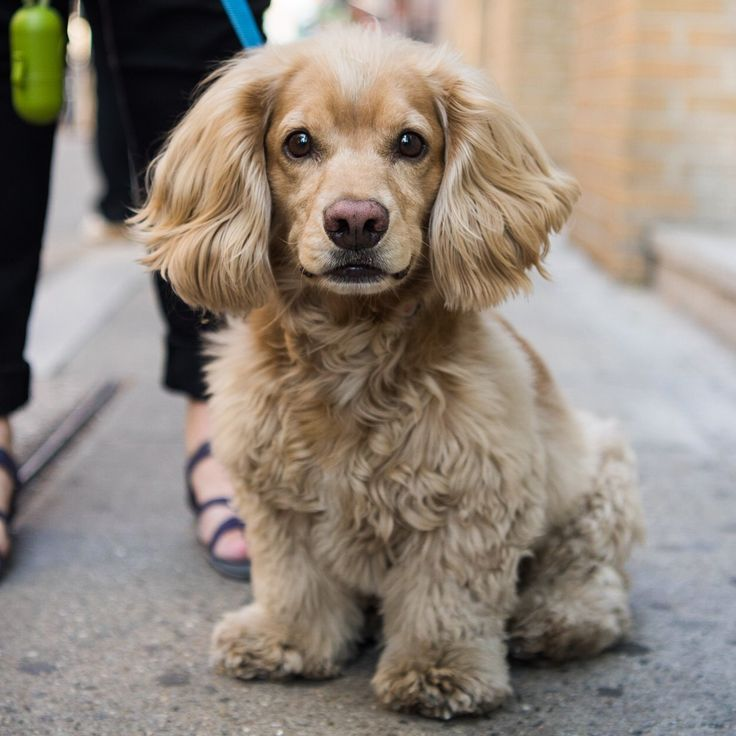 "Barry, Cocker Spaniel/Dachshund mix (5 y/o), Prince & West Broadway, New York, NY • ""He can be aggressive."""