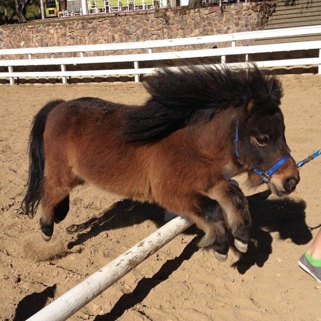 Miniature Horse jumping...gonna teach my little Gallifrey to jump.