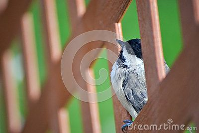 Chickadee Bird Close Up - Download From Over 26 Million High Quality Stock Photos, Images, Vectors. Sign up for FREE today. Image: 26270966