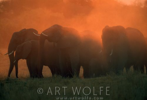 African elephants silhouetted at sunset in a cloud of dust.