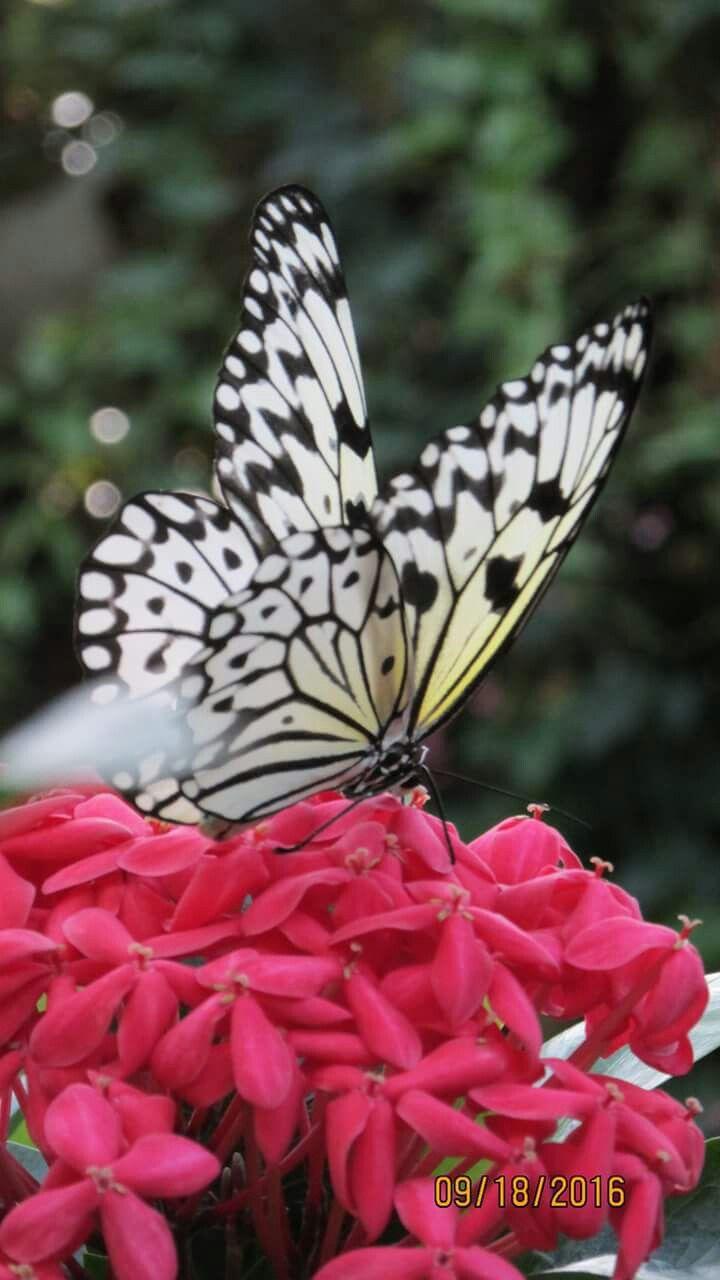 123 best butterflies images on pinterest butterflies butterfly