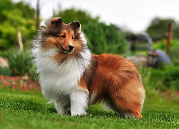 Shetland Sheepdogs, Shelties... Looks just like my late Aggie!!! :( miss him so much, the best dog ever