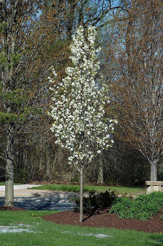 17 best images about deciduous  u0026 flowering trees on pinterest