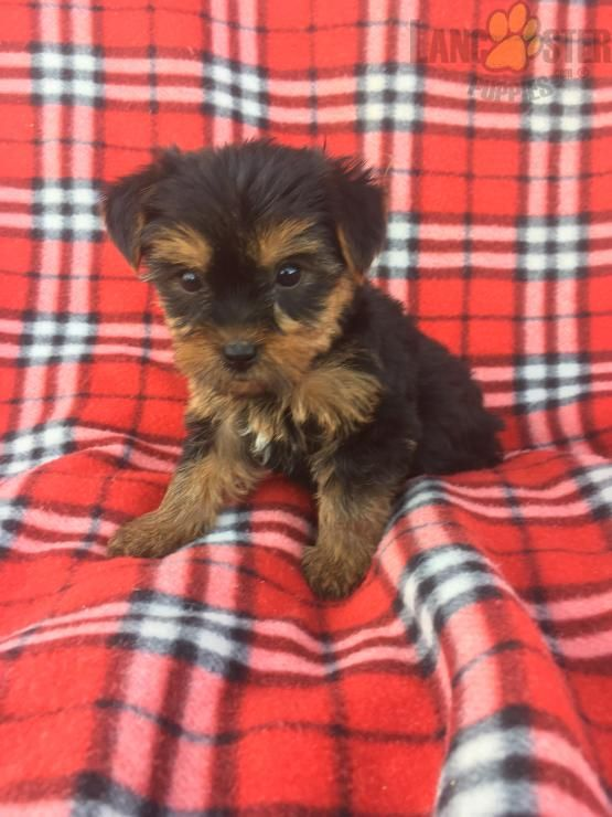 Abby Yorkshire Terrier Puppy For Sale In Millersburg Oh Yorkshire Terrier Puppies For Sale Yorkshire Terrier Puppies