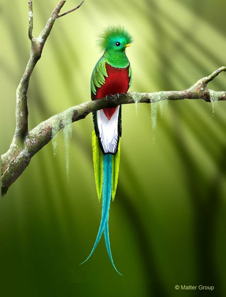 1000  Images About Quetzal On Pinterest Feathers Forests And