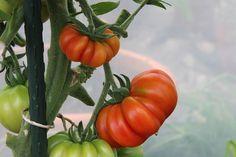 10 Tipps für eine reiche Tomaten-Ernte