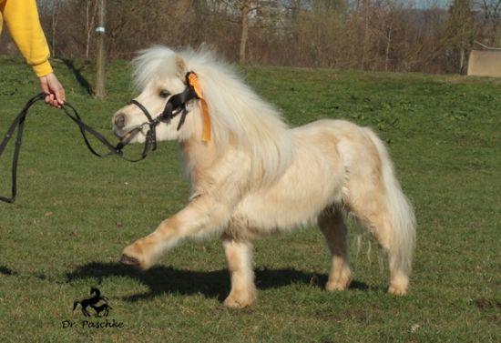 Fleetwood Ley Poison - palomino Shetland pony stallion