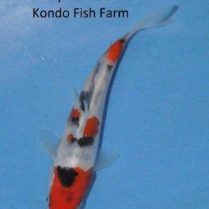 8th Chang Koi Grow Out | Koi and Goldfish breeding tips #KondoKoifishfarm