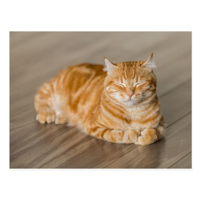 Orange Kitty Postcard Zazzle Com Cats First Time Cat Owner Smiling Cat