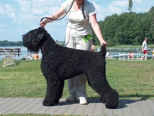 Adam Malahovskiy - Black Russian Terrier beautiful and massively impressive