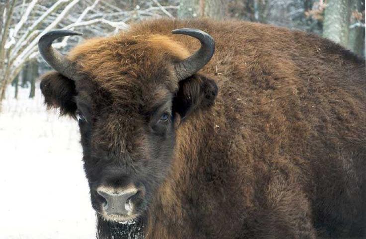 Un bisonte nella foresta di Bialowieza in #Bielorussia. Foto di Valentin Ezhelov