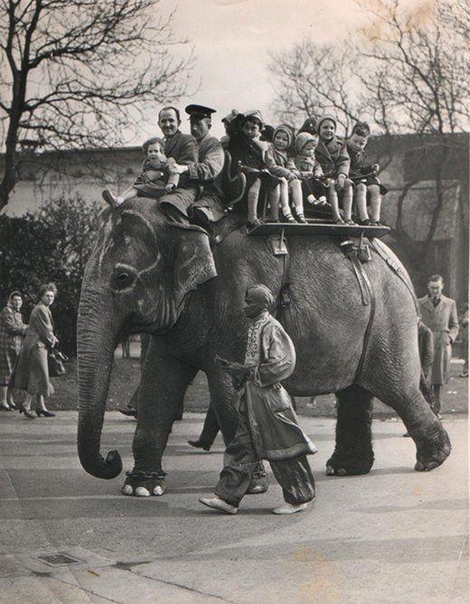 An Elephant Ride at Belle Vue Gardens, Manchester