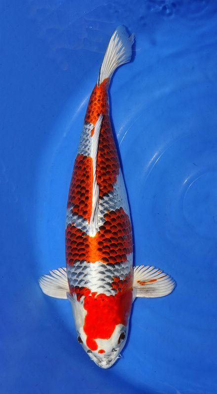 Die besten 25 goldfische im teich ideen auf pinterest for Japanischer kampffisch