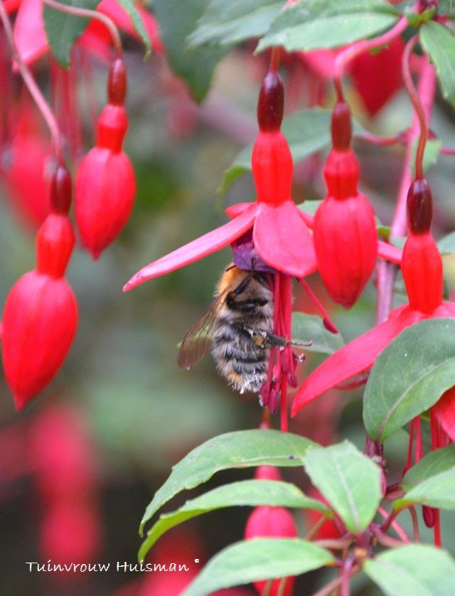 39 best images about animals in garden on pinterest for Fuchsia magellanica
