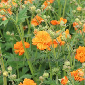 (P33) Geum 'Prinses Juliana'