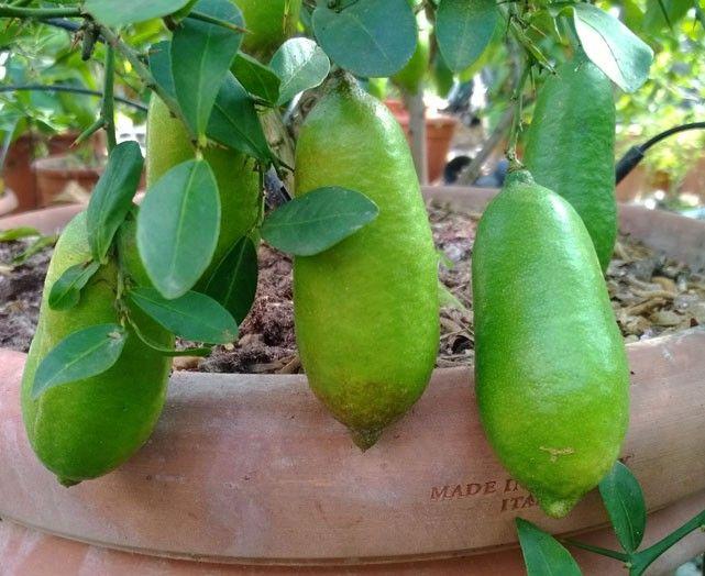 """LIMONE CAVIALE """"Citrus astralasica"""" (Finger Lime) -FRUTTO GIALLO-polpa bianca"""