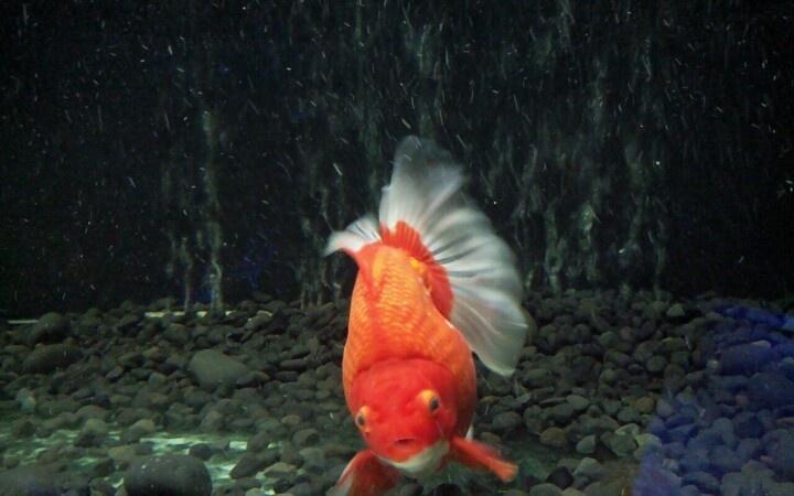 Beautiful gold fish #seaworld #indonesia