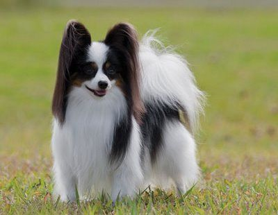... On the Rocks (Rita) - Westminster Kennel Club best of breed, papillon