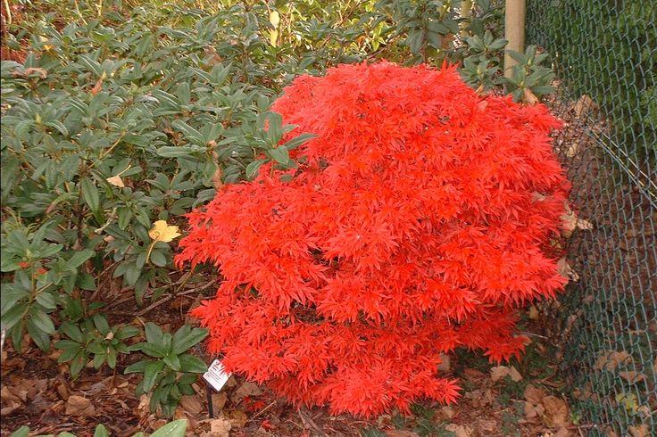 acer palmatum shaina a fiery autumn garden pinterest. Black Bedroom Furniture Sets. Home Design Ideas