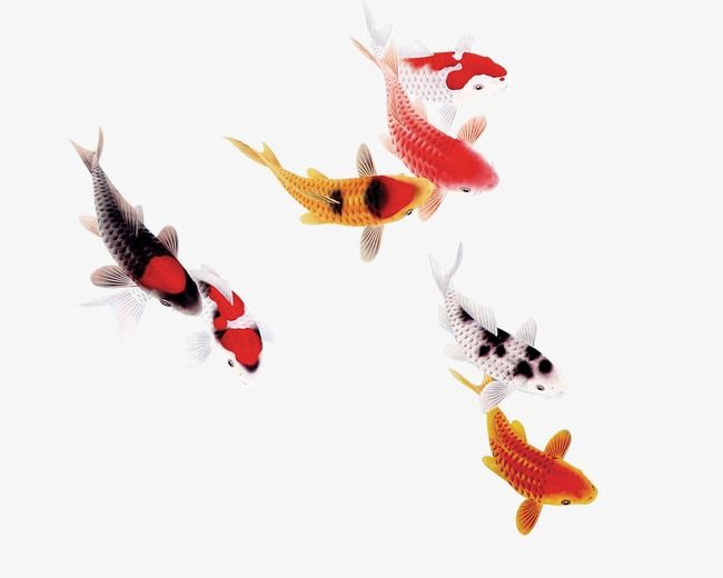 Gif Transparent Fish Goldfish Transparent Fish Fish
