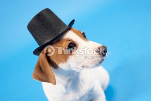 Stock Photo : Dog wearing top hat