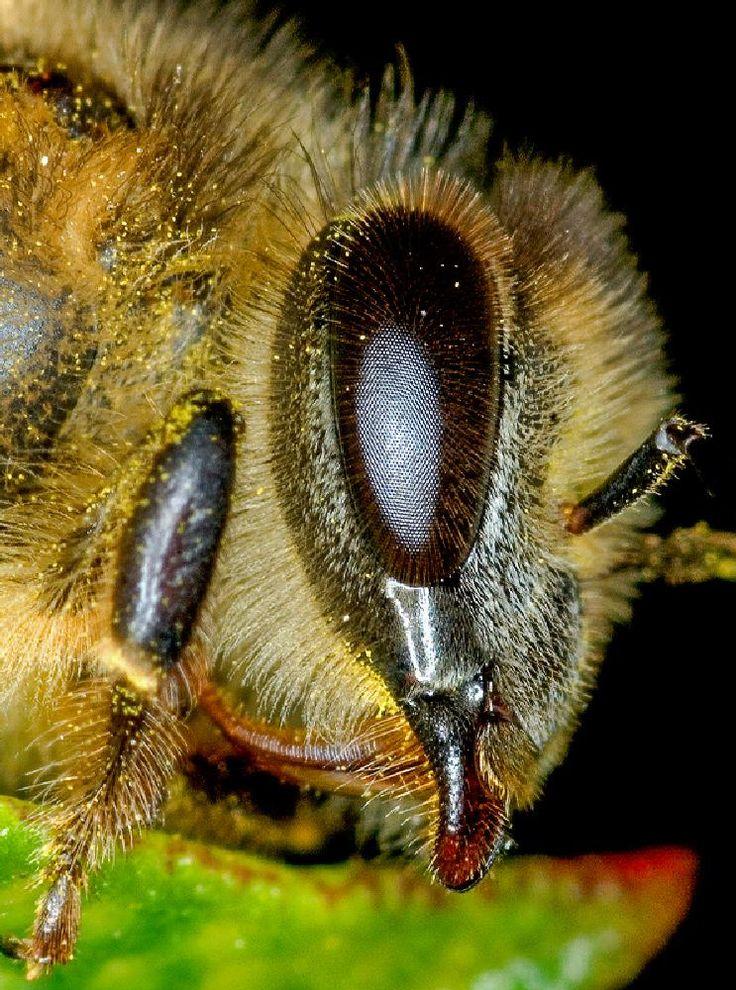 Hairy - African Honey Bee by Joggie van Staden
