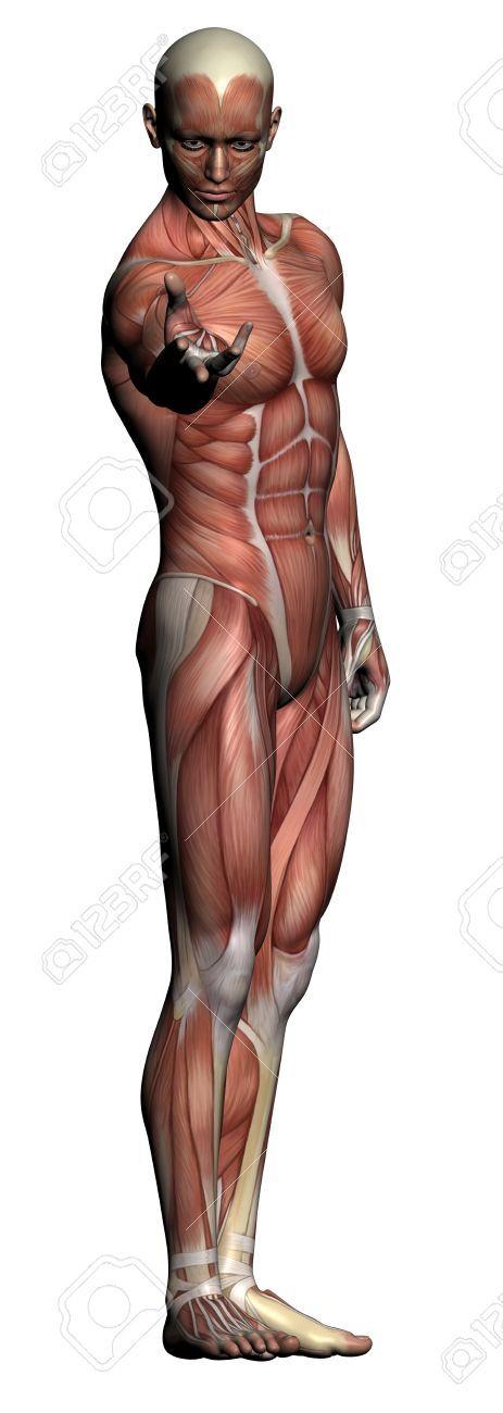 Anatomie Humaine - Muscles Masculins Faites Dans Un Logiciel 3D Banque D'Images, Photos, Illustrations Libre De Droits. Pic 20095649.