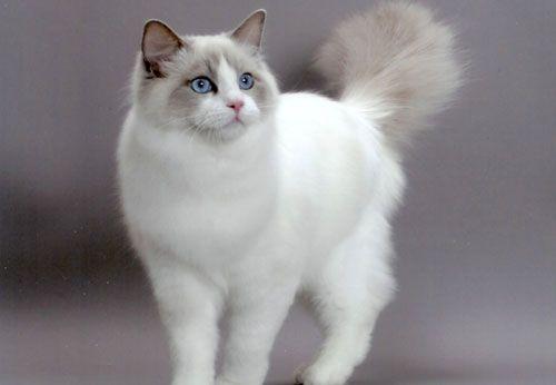 ledi_oks 4.Регдолл  Такие кошки добродушны и спокойны. В переводе с английского «регдолл» означает «тряпичная кукла». И действительно, регдоллы настолько тихие и миролюбивые животные, что их можно сравнить с пушистой куклой. Регдоллы – большие коты, вес которых нередко доходит до 10 кг. Особую привлекательность придает регдоллам пушистая шерсть и голубые глаза.