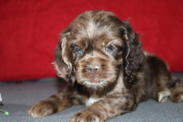 Petland Overland Park Has Cocker Spaniel Puppies For Sale Check Out All Our Available Puppies Cockerspan Puppies For Sale Spaniel Puppies For Sale Puppies