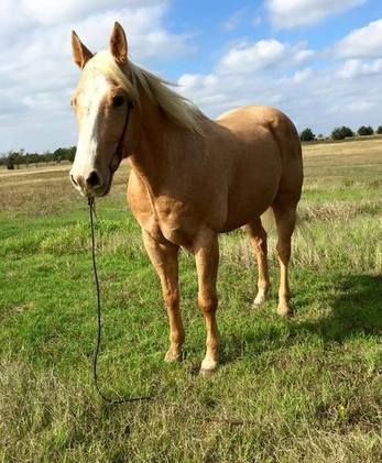 Check out this amazing American Quarter Horse With Exceptional All Round Qualities. Quarter Horse for sale in Shelbyville, Tennessee USA!