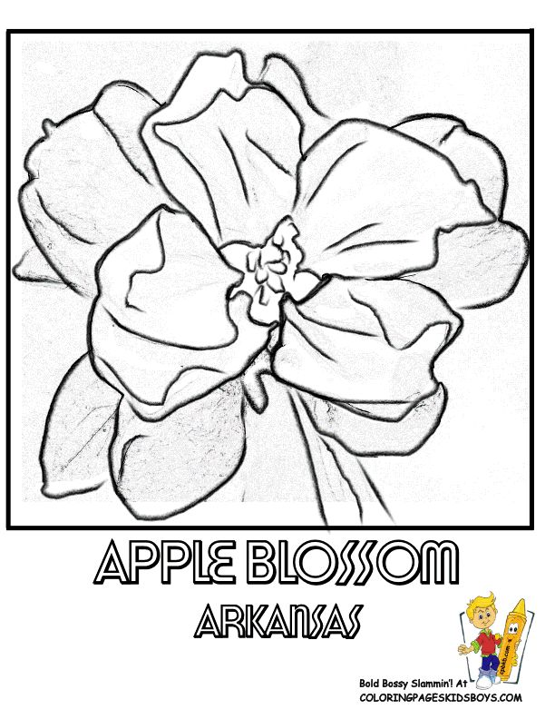 arkansas state flower coloring page apple blossom