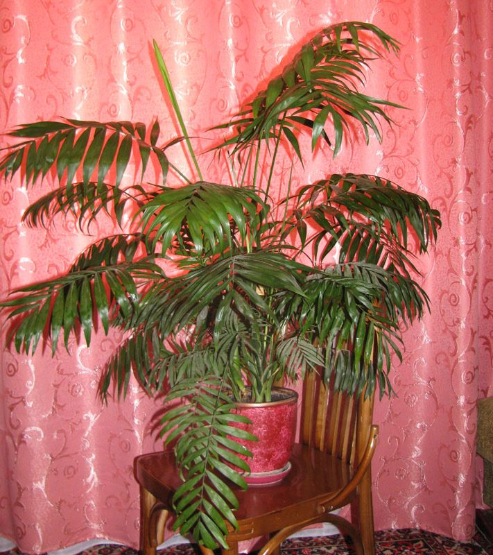 a6dccd60f8a1406da931113c1188462c--palm-plants-indoor-plants Palm Houseplants Diseases on palm trees, palm bonsai, palm beetle, palm leaf chickee, palm shrubs, palm christmas, palm diagram, palm vector, palm chamaedorea seifrizii, palm border, palm rats, palm roses, palm leaf cut out, palm pattern, palm bamboo, palm flowers, palm tr, palm drawing, palm shoot, palm seeds,