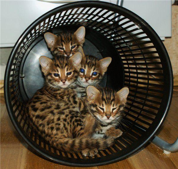 TOP 35 Bengal kittens (22)